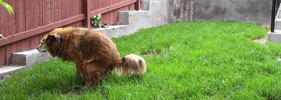 picture of bailey dog pooping outside in the green grass
